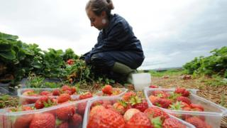 A fruit picker picking strawberries at a farm in Northumberland.