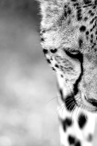 A close up of a cheetah's head