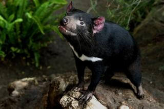 A Tasmanian devil inside its enclosure at the San Diego Zoo, California, in 2015
