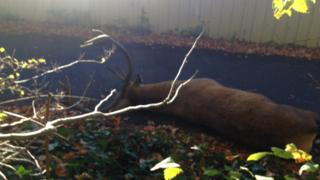 stag lying on greenway