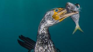 An Asiatic cormorant sea bird catches a fish.