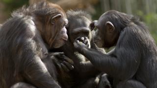 Três chimpanzés sentados em grupo