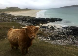 Highland cow beside beach