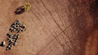 Farmer May McKeown feeds her remaining cattle on her drought-affected property located on the outskirts of the town of Walgett