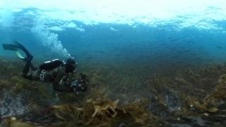 Mergulhador em floresta de kelps