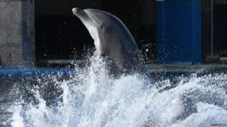 Dolphin during a show at a dolphinarium in Spain