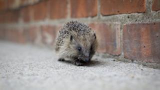 Hedgehog on pavement