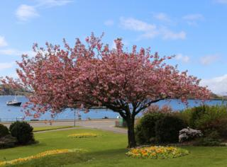 One of Oban's cherry trees in full blossom.