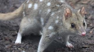 An adult eastern quoll
