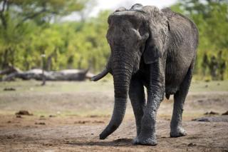 Ndovu amuua mwelekezi wa safari Zimbabwe