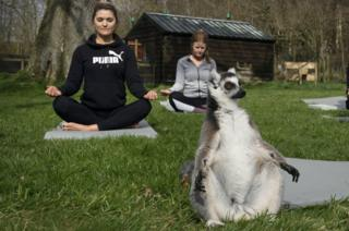 A lemur in a yoga-like pose at the Lake District Wildlife Park
