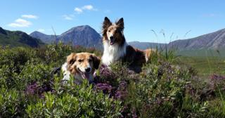 Dogs in heather at Glencoe