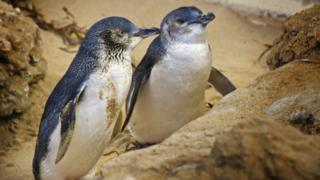 Little penguins in a marine park in western Australia