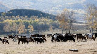 cattle in Inner Mongolia