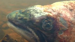 Sea lice on a wild salmon