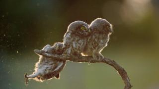 Owls. Photo: Tibor Kercz