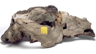 Cráneo de toxodon platensis de la colección de Darwin en el Museo de Historia Natural de Londres.