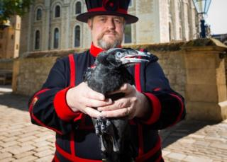 Raven chick with Ravenmaster