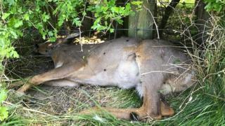 Shot deer