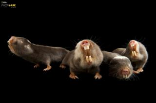 Damaraland köstəbək siçovulları (Fukomys damarensis) Houston Zooparkı, Houston Texas © Joel Sartore/National Geographic Photo Ark