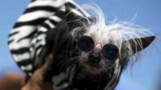 A dog named Rascal posing before the World's Ugliest Dog competition in black sunglasses