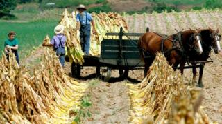 Amish people load freshly cut tobacco leaves on to a wagon August 29, 2006 in Hughesville, Maryland
