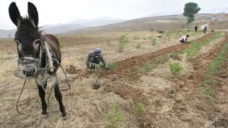 Çində eşşəklər, həm də kənd təsərrüfatında istifadə olunur