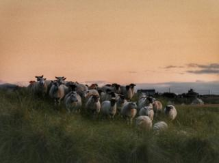 Sheep at sunset at Gress, Lewis.