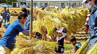 Вирощування рису