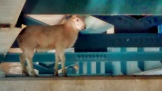 Sheep stuck under bridge