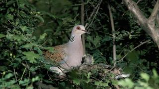 The European turtle dove: Numbers are in decline