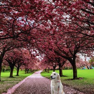 Labrador in the cherry blossoms