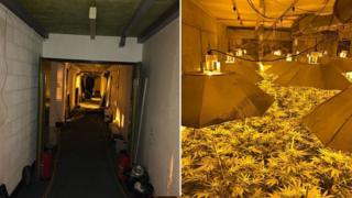 مزرعه ماریجوانا