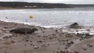 The seals were released back into waters at Port Eynon, Gower