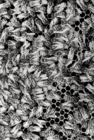 A close up photo of bees on honeycomb