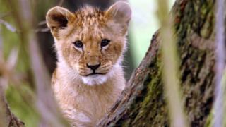 Lion cub (file photo)