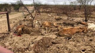Avustralya'da selde telef olan inekler
