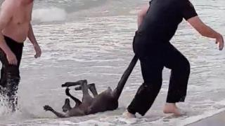 Police officers rescue kangaroo in Safety Beach, Victoria