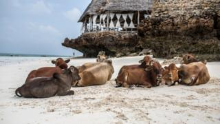 Cows on a beach in Zanzibar, Tanzania - Sunday 31 December 2017