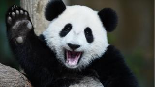 Pandas back from the brink