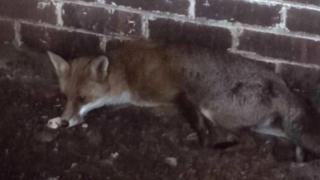 Fox inside brick outbuilding