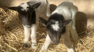 Bagot goat kids