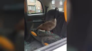 Goose in taxi