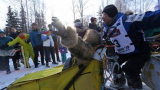 Dogs pull along the musher in a sled on runners