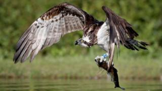 An osprey catches a rainbow trout in a loch near Aviemore in the Cairngorms