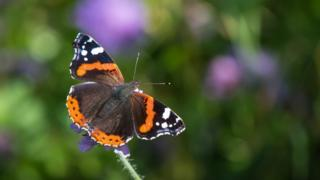 The Red Admiral had a good year