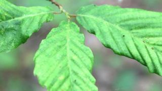 Leaf displaying the symptoms of Beech Leaf Disease (Image: C.Mathias)