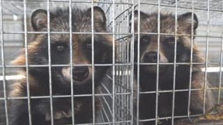 Farmed racoon dogs in China