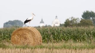 Storks in Poland