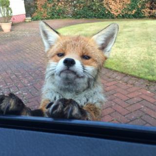 Fox at car window
